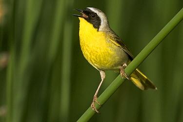 Common Yellowthroat (Geothlypis trichas) male singing, western Montana  -  Donald M. Jones