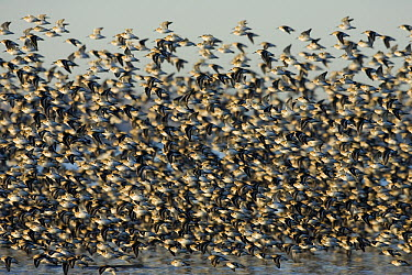 Dunlin (Calidris alpina) flock in winter plumage flying along coast, Washington  -  Donald M. Jones