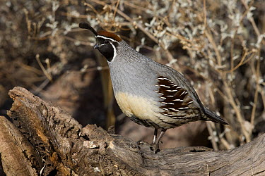 Gambel's Quail (Callipepla gambelii) male, southern Arizona  -  Donald M. Jones