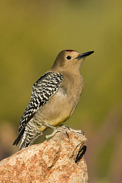 Gila Woodpecker (Melanerpes uropygialis), southern Arizona  -  Donald M. Jones