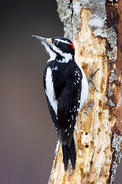 Hairy Woodpecker (Picoides villosus) male on snag, western Montana  -  Donald M. Jones