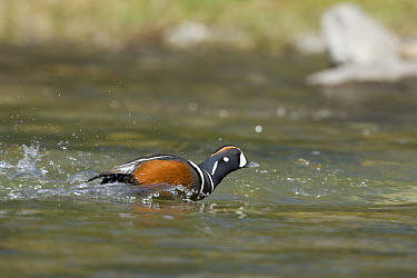 Harlequin Duck (Histrionicus histrionicus) male running on water, western Montana  -  Donald M. Jones
