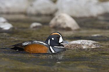 Harlequin Duck (Histrionicus histrionicus) male in creek, western Montana  -  Donald M. Jones