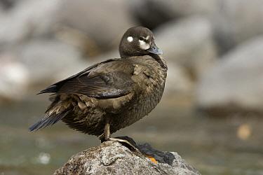 Harlequin Duck (Histrionicus histrionicus) female on rock, western Montana  -  Donald M. Jones
