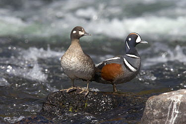 Harlequin Duck (Histrionicus histrionicus) male and female in creek, Yellowstone National Park, Wyoming  -  Donald M. Jones