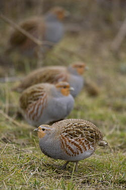 European Partridge (Perdix perdix) group, western Montana  -  Donald M. Jones
