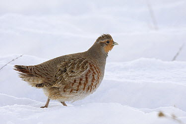 European Partridge (Perdix perdix) in snow, western Montana  -  Donald M. Jones