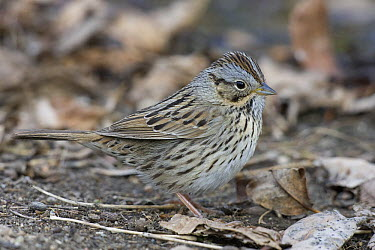 Lincoln's Sparrow (Melospiza lincolnii) camouflaged amid leaf litter, eastern Montana  -  Donald M. Jones