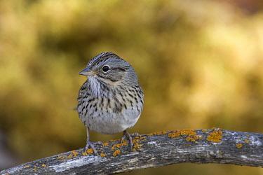 Lincoln's Sparrow (Melospiza lincolnii), eastern Montana  -  Donald M. Jones