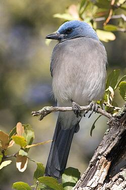 Mexican Jay (Aphelocoma wollweberi), southern Arizona  -  Donald M. Jones