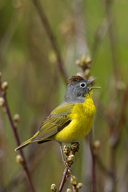 Nashville Warbler (Oreothlypis ruficapilla) male singing, western Montana  -  Donald M. Jones