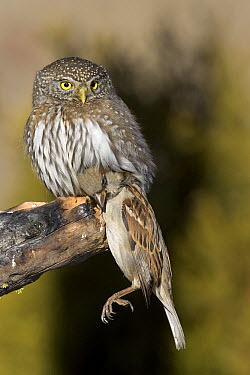 Northern Pygmy Owl (Glaucidium californicum) with a House Sparrow (Passer domesticus) in its talons, western Montana  -  Donald M. Jones