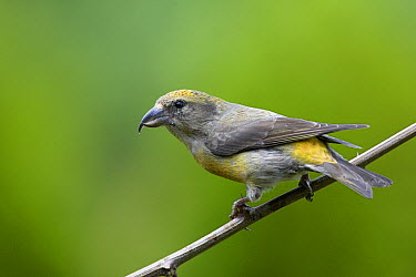 Red Crossbill ( Loxia curvirostra) female, western Montana  -  Donald M. Jones