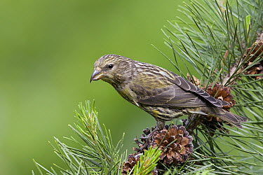 Red Crossbill ( Loxia curvirostra) juvenile, western Montana  -  Donald M. Jones