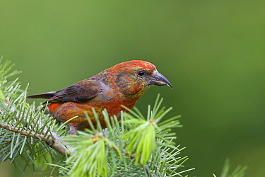 Red Crossbill ( Loxia curvirostra) male, western Montana  -  Donald M. Jones