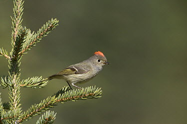 Ruby-crowned Kinglet (Regulus calendula) male with raised crown, western Montana  -  Donald M. Jones