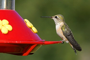 Rufous Hummingbird (Selasphorus rufus) female at hummingbird feeder, western Montana  -  Donald M. Jones