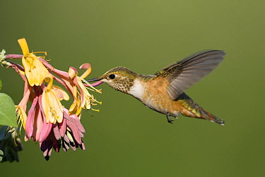 Rufous Hummingbird (Selasphorus rufus) female feeding on honeysuckle, western Montana  -  Donald M. Jones