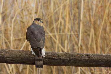 Sharp-shinned Hawk (Accipiter striatus), Montana  -  Donald M. Jones