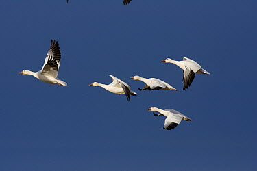 Snow Goose (Chen caerulescens) flock flying, central Montana  -  Donald M. Jones