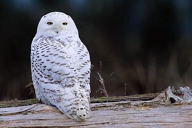 Snowy Owl (Nyctea scandiaca) on drift wood, Washington  -  Donald M. Jones