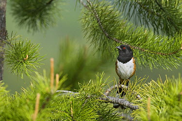 Rufous-sided Towhee (Pipilo erythrophthalmus) male, western Montana  -  Donald M. Jones