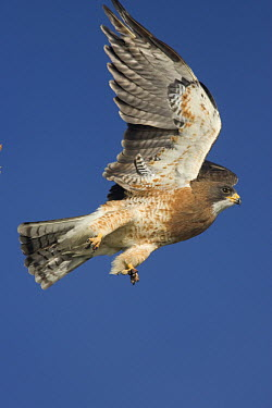 Swainson's Hawk (Buteo swainsoni) flying, central Wyoming  -  Donald M. Jones