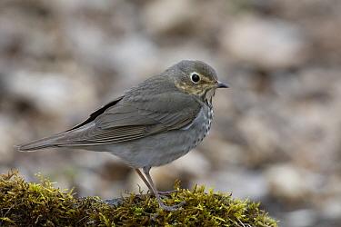 Swainson's Thrush (Catharus ustulatus), eastern Montana  -  Donald M. Jones