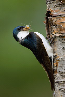 Tree Swallow (Tachycineta bicolor) male at nest cavity with insect prey, western Montana  -  Donald M. Jones