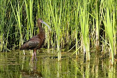 White-faced Ibis (Plegadis chihi) wading through marsh, central Montana  -  Donald M. Jones