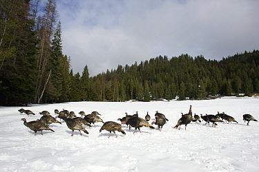 Wild Turkey (Meleagris gallopavo) group foraging in snow, western Montana  -  Donald M. Jones