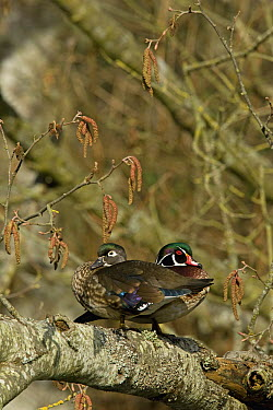 Wood Duck (Aix sponsa) male and female siting in tree, western Montana  -  Donald M. Jones