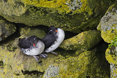 Parakeet Auklet (Cyclorrhynchus psittacula) pair on cliff, Pribilof Islands, Alaska  -  Matthias Breiter