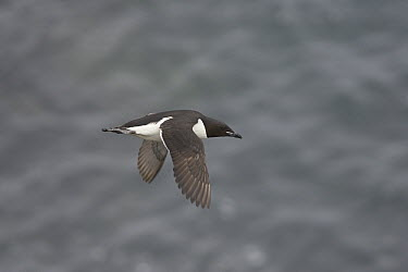 Common Murre (Uria aalge) flying, Pribilof Islands, Alaska  -  Matthias Breiter