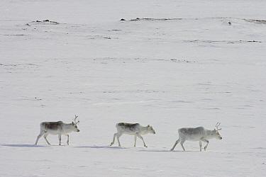 Peary Caribou (Rangifer tarandus pearyi) group walking, Banks Island, Canada  -  Matthias Breiter