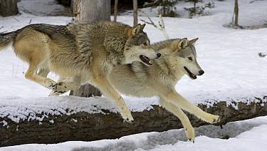 Timber Wolf (Canis lupus) pair jumping over log, Montana  -  Matthias Breiter