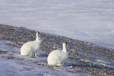 Arctic Hare (Lepus arcticus) pair, Banks Island, Canada  -  Matthias Breiter