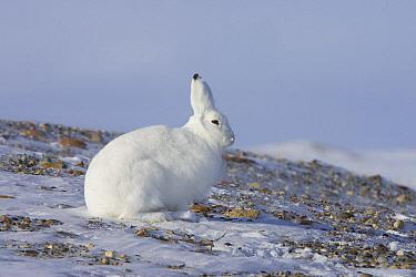 Arctic Hare (Lepus arcticus), Banks Island, Canada  -  Matthias Breiter