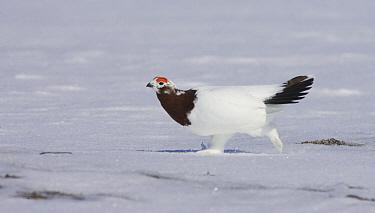 Willow Ptarmigan (Lagopus lagopus) male starting to molt into summer plumage, Banks Island, Canada  -  Matthias Breiter