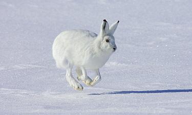 Arctic Hare (Lepus arcticus) hopping, Banks Island, Canada  -  Matthias Breiter