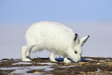 Arctic Hare (Lepus arcticus) browsing tundra vegetation, Banks Island, Canada  -  Matthias Breiter