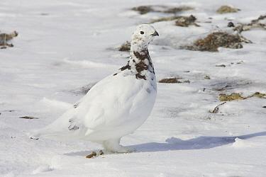 Willow Ptarmigan (Lagopus lagopus) female starting to molt, Banks Island, Canada  -  Matthias Breiter