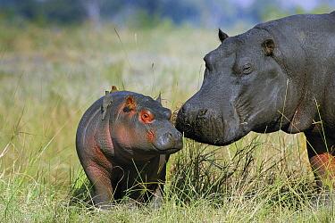 Hippopotamus (Hippopotamus amphibius) mother and calf, Khwai River, Botswana