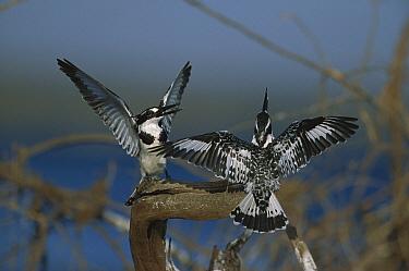 Pied Kingfisher (Ceryle rudis) pair courting, Chobe River, Botswana  -  Richard Du Toit
