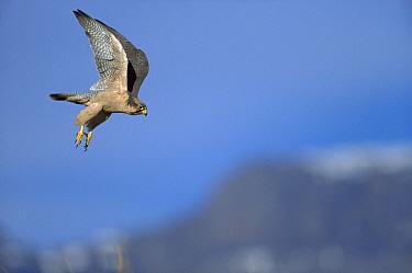 Lanner Falcon (Falco biarmicus) flying, Drakensburg, South Africa  -  Richard Du Toit