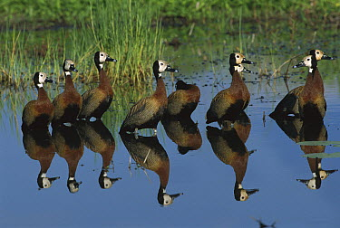 White-faced Whistling-Duck (Dendrocygna viduata) group in pond, Moremi Game Reserve, Botswana  -  Richard Du Toit