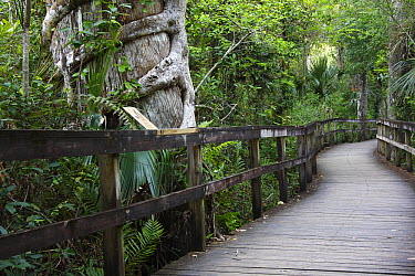 Boardwalk through palm and cypress forest, Fakahatchee Strand Preserve State Park, Florida  -  Scott Leslie