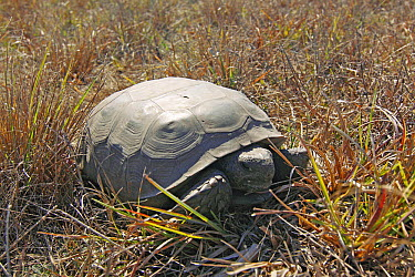 Florida Gopher Tortoise (Gopherus polyphemus), Kissimmee Prairie Preserve State Park, Florida  -  Scott Leslie