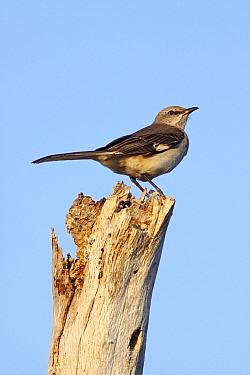 Northern Mockingbird (Mimus polyglottos), Kissimmee Prairie Preserve State Park, Florida  -  Scott Leslie