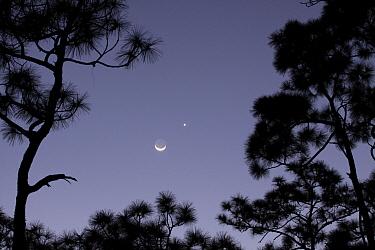 Slash Pine (Pinus elliottii) trees with moon and venus setting, Everglades National Park, Florida  -  Scott Leslie